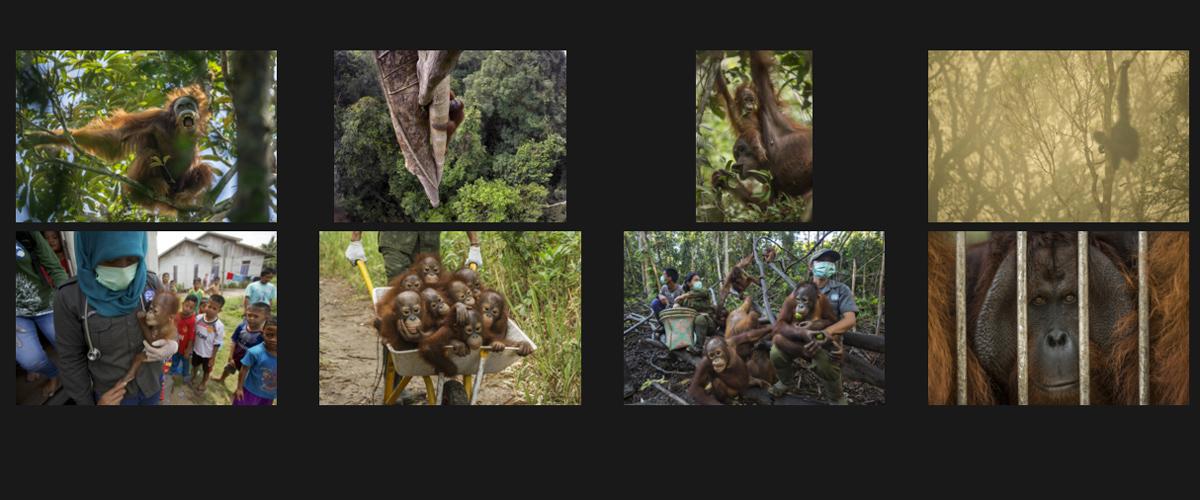 World Press Photo 2015 orangutan